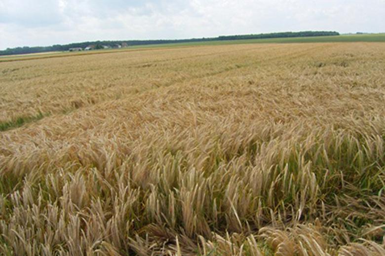 シャンパーニュはブドウだけにあらず、「フランスの大麦」編