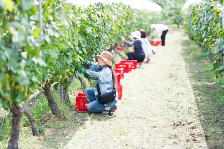 【グランポレール勝沼ワイナリー】収穫の秋を迎えたワイナリー