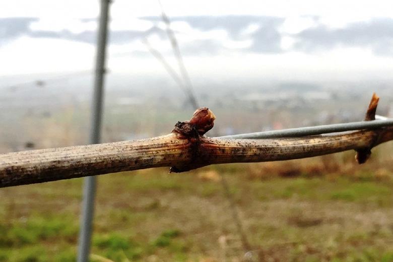 ぶどう園に春がやってきました~安曇野池田ヴィンヤードより~