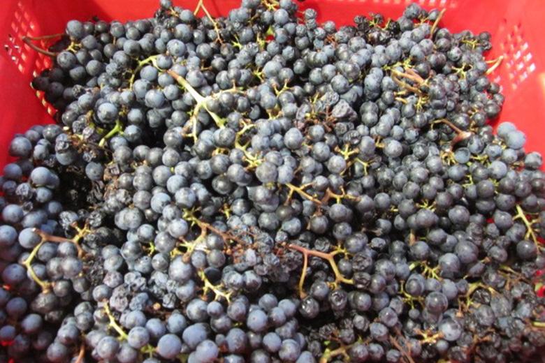 ワイン仕込の最盛期★ぶどうをグランポレールに