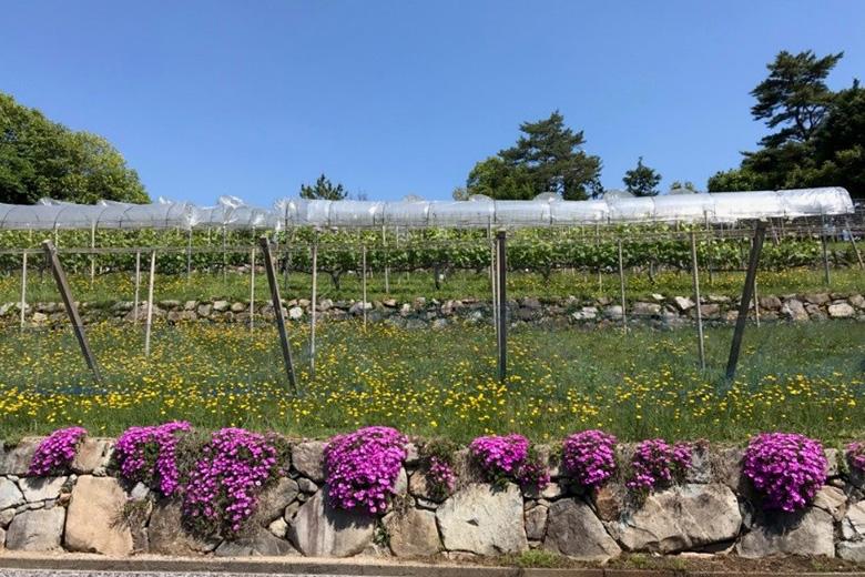 晴れの国、岡山ではぶどうの花が咲き始めています! ~グランポレール岡山ワイナリーより~