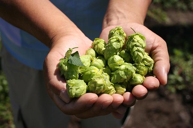 ビール好きの基礎知識ホップの正体をあなたは知っていますか?