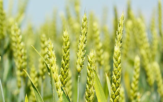 あなたは説明できますか?大麦と小麦はこんなに違う